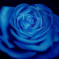 rosa-blu